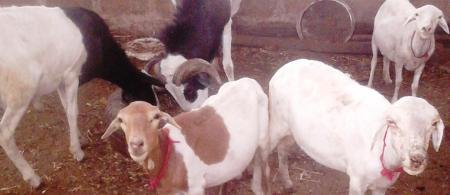 livestock in the Gambia